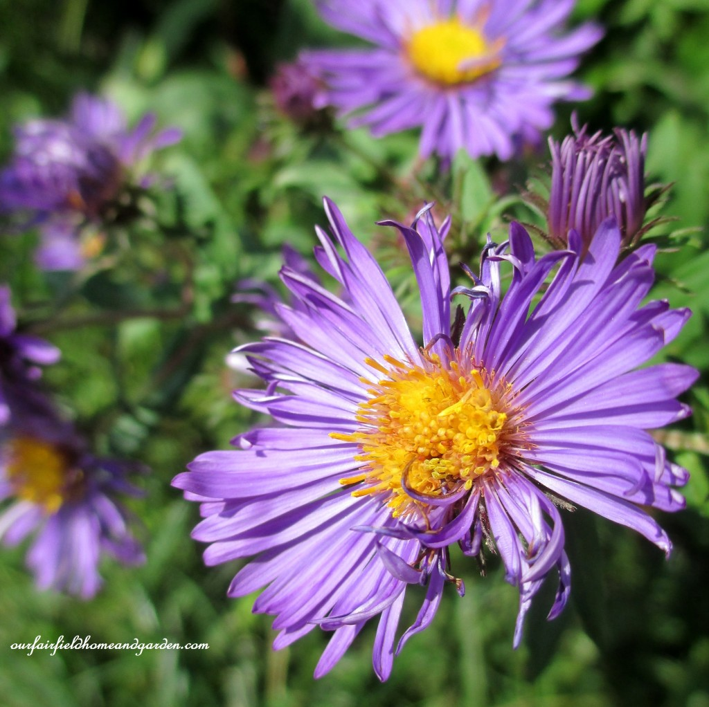 Meadow Asters http://ourfairfieldhomeandgarden.com/longwood-gardens-a-walk-in-the-meadow/
