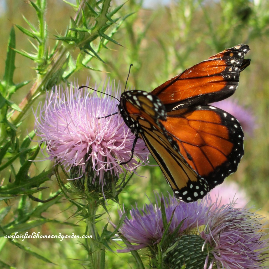 Monarch Butterfly on Thistle https://ourfairfieldhomeandgarden.com/longwood-gardens-a-walk-in-the-meadow/