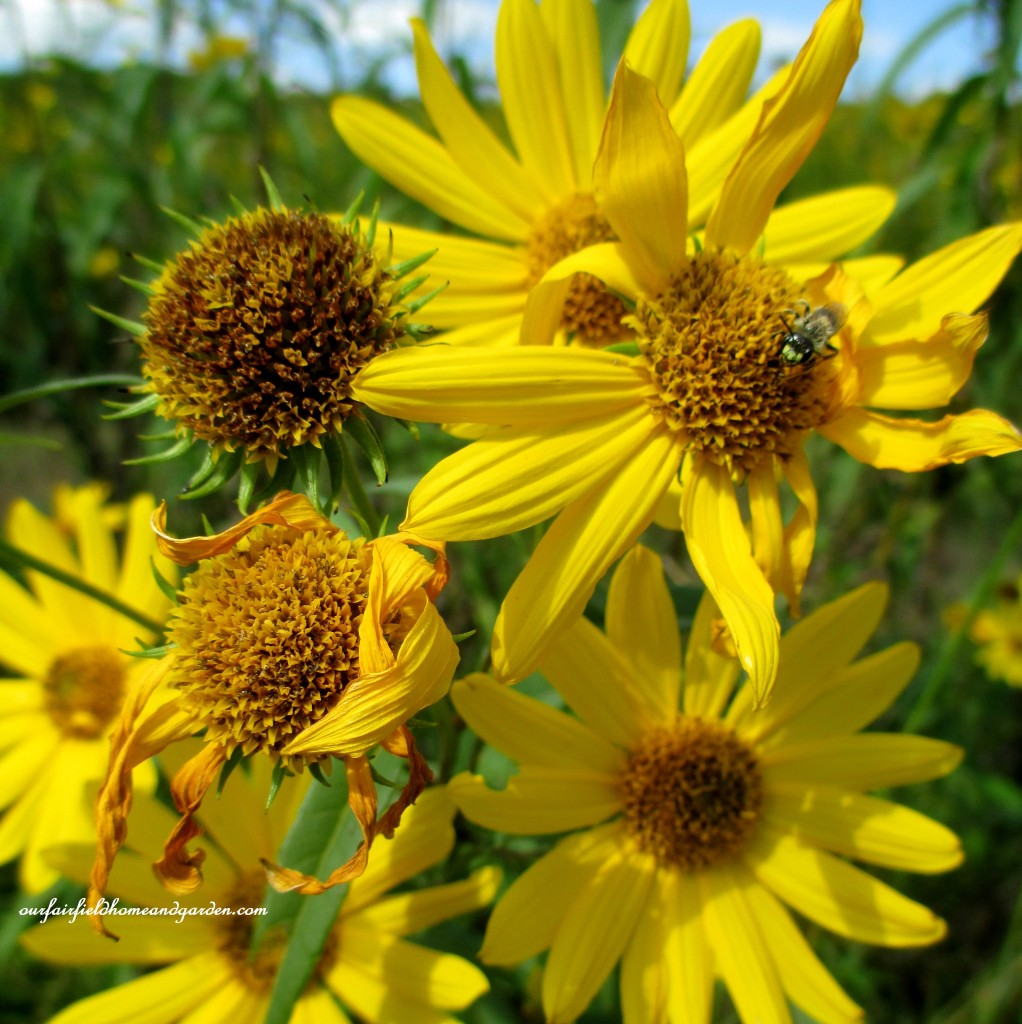 Native Sunflowers http://ourfairfieldhomeandgarden.com/longwood-gardens-a-walk-in-the-meadow/