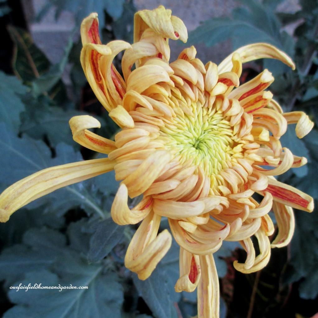 """Nijin Bigo"" http://ourfairfieldhomeandgarden.com/field-trip-chrysanthemum-festival-at-longwood-gardens/"