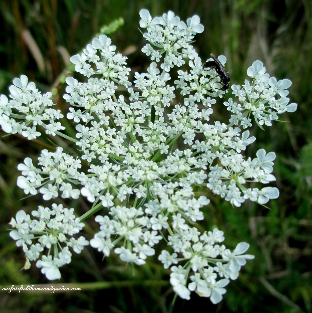 Queen Anne's Lace https://ourfairfieldhomeandgarden.com/longwood-gardens-a-walk-in-the-meadow/