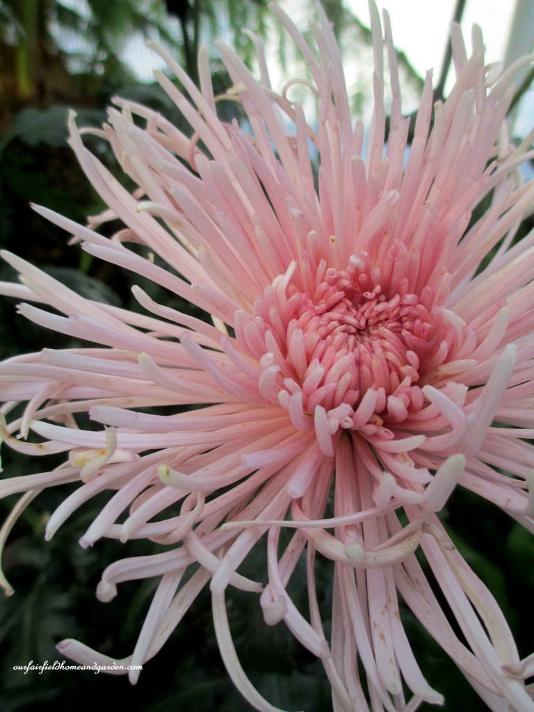 "Quill Mum ""King's Delight"" http://ourfairfieldhomeandgarden.com/field-trip-chrysanthemum-festival-at-longwood-gardens/"