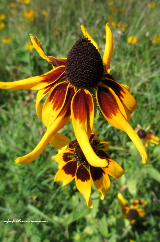 Rudbeckia https://ourfairfieldhomeandgarden.com/longwood-gardens-a-walk-in-the-meadow/