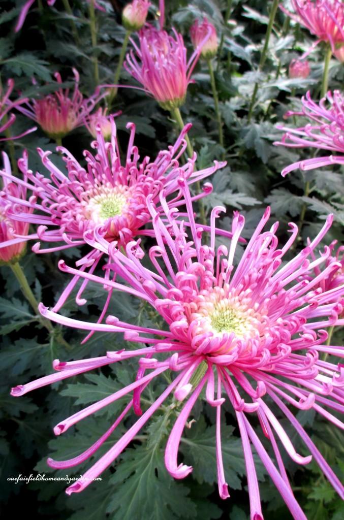 Spider Mum http://ourfairfieldhomeandgarden.com/field-trip-chrysanthemum-festival-at-longwood-gardens/