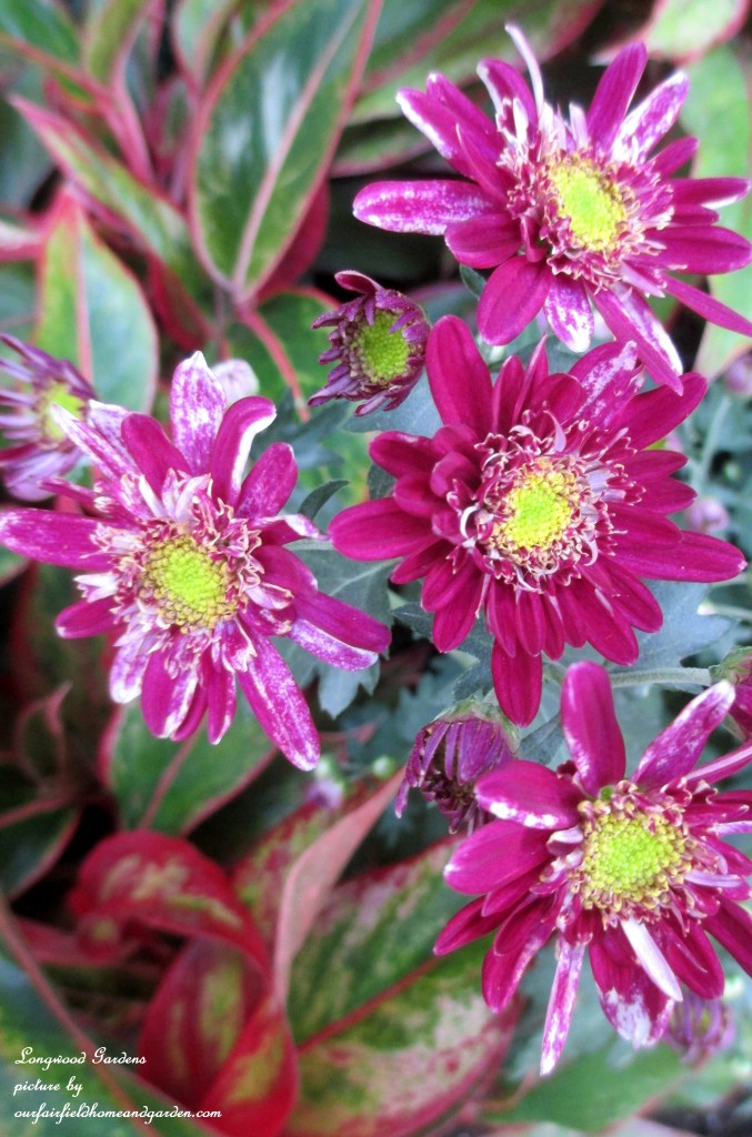 "chrysanthemun x morifolium ""Sozan"" http://ourfairfieldhomeandgarden.com/field-trip-chrysanthemum-festival-at-longwood-gardens/"