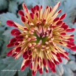 opening bloom http://ourfairfieldhomeandgarden.com/field-trip-chrysanthemum-festival-at-longwood-gardens/
