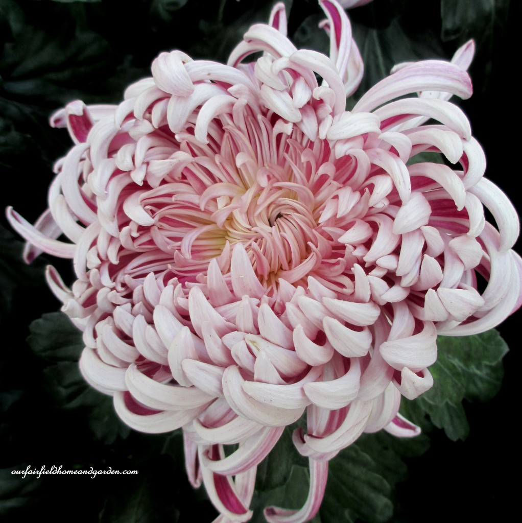 opening chrysanthemum https://ourfairfieldhomeandgarden.com/field-trip-chrysanthemum-festival-at-longwood-gardens/