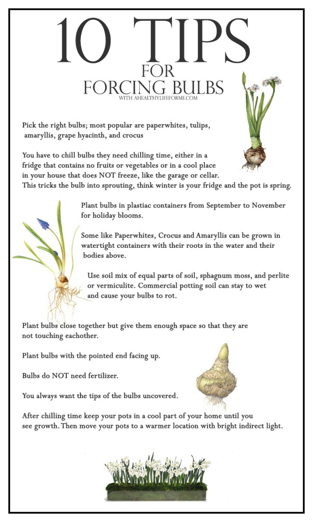 10 Tips for Forcing Bulbs http://ahealthylifeforme.com/how-to-force-bulbs/