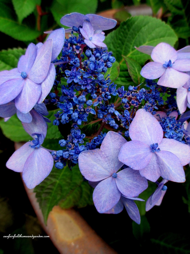 Potted Blue Hydrangea http://ourfairfieldhomeandgarden.com/an-oregon-trip-proposal-rock-at-neskowin/