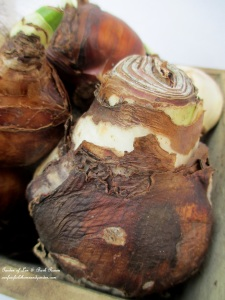 Choose plump, firm bulbs. http://ourfairfieldhomeandgarden.com/flowering-holiday-bulbs/