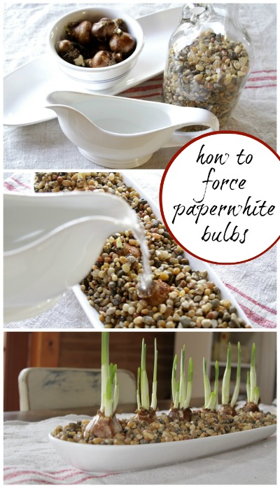 Forcing Paperwhites http://creativecaincabin.com/2012/11/forcing-paper-whites/