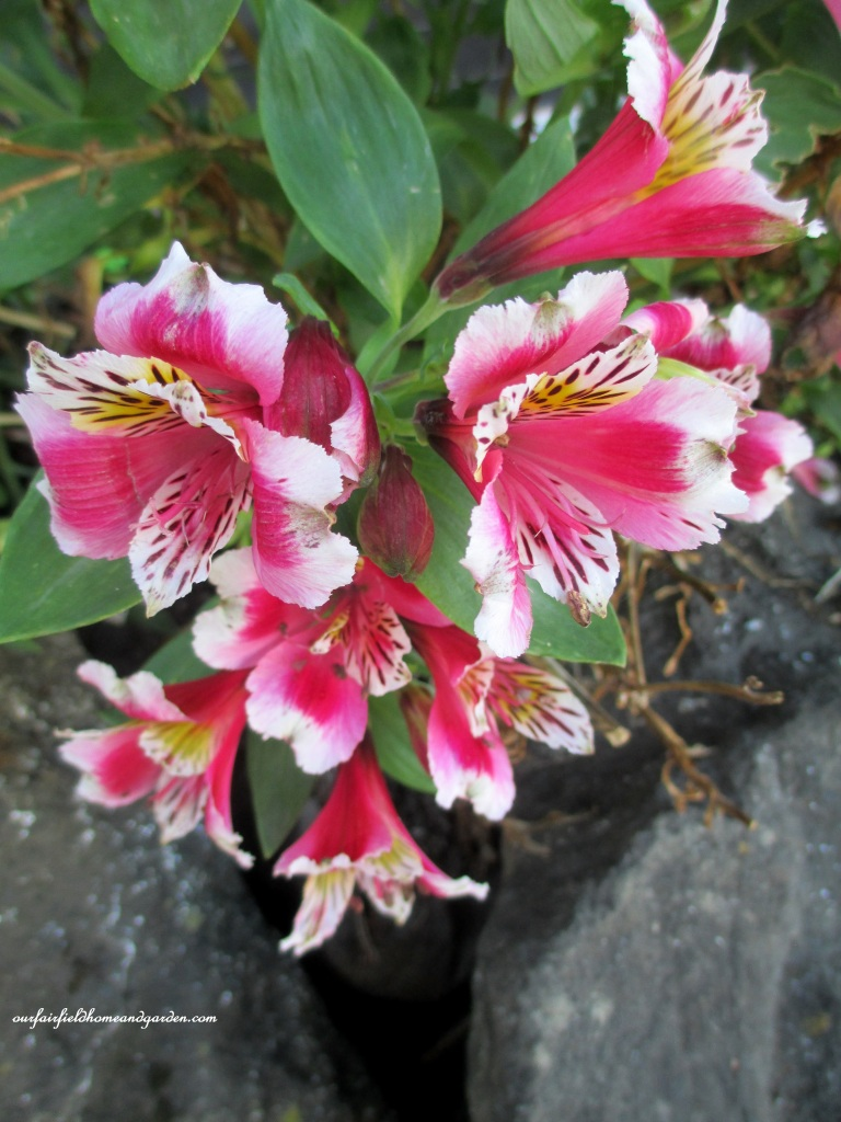 Alstroemeria http://ourfairfieldhomeandgarden.com/an-oregon-trip-proposal-rock-at-neskowin/