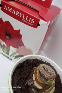 Include a picture with your bulb gift! http://ourfairfieldhomeandgarden.com/flowering-holiday-bulbs/