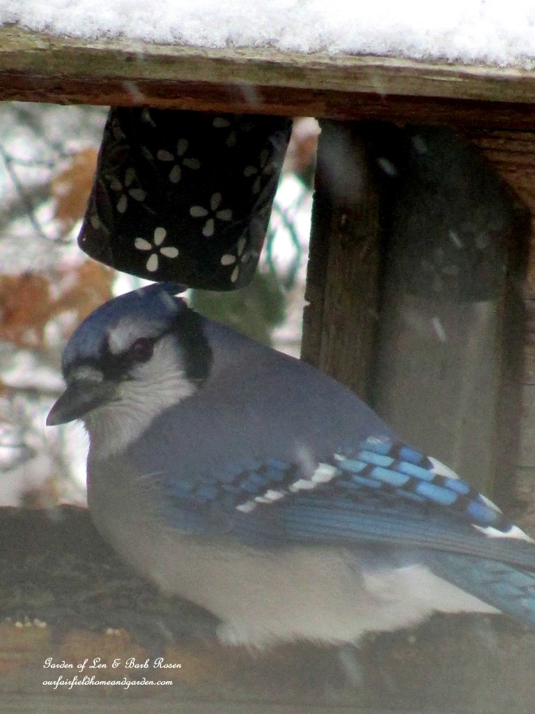 Blue Jay http://ourfairfieldhomeandgarden.com/birdfeeders-use-what-you-have/