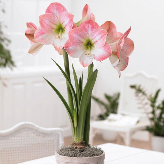 http://www.longfield-gardens.com/Amaryllis