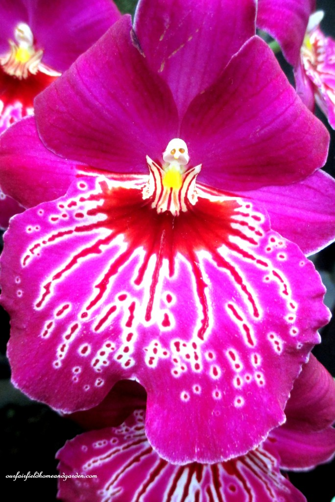 Longwood Gardens Orchids http://ourfairfieldhomeandgarden.com/a-visit-to-longwood-gardens-orchid-extravaganza-2015/