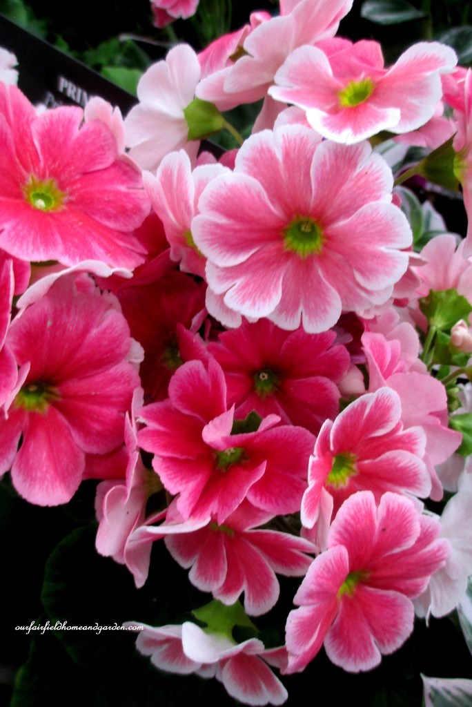 Primroses http://ourfairfieldhomeandgarden.com/a-visit-to-longwood-gardens-orchid-extravaganza-2015/