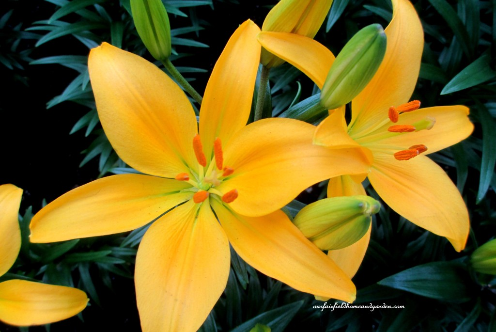 Asiatic Lilies http://ourfairfieldhomeandgarden.com/a-visit-to-longwood-gardens-orchid-extravaganza-2015/