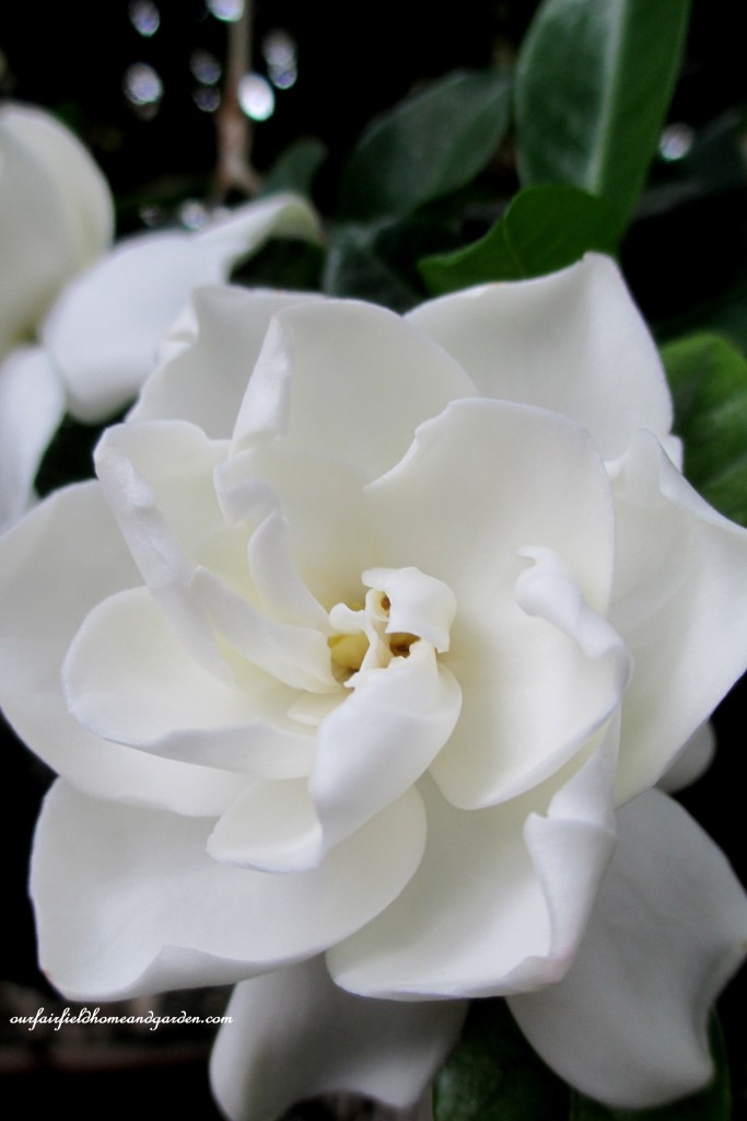 Gardenia Blossom http://ourfairfieldhomeandgarden.com/a-visit-to-longwood-gardens-orchid-extravaganza-2015/
