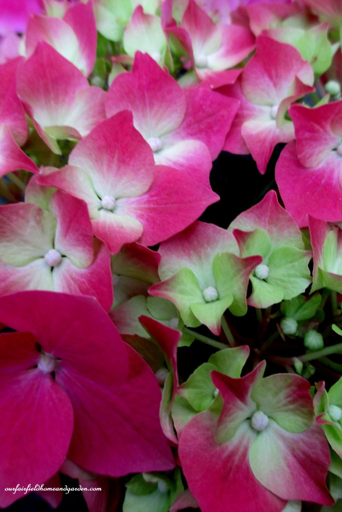 Hydrangea Blooms http://ourfairfieldhomeandgarden.com/a-visit-to-longwood-gardens-orchid-extravaganza-2015/