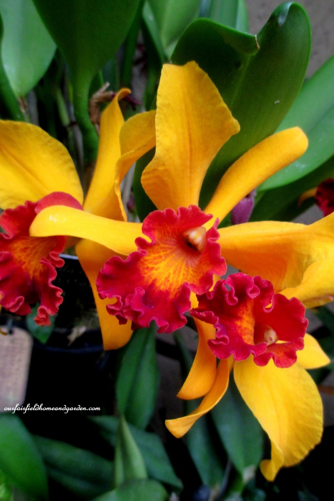 Longwood Gardens Orchids https://ourfairfieldhomeandgarden.com/a-visit-to-longwood-gardens-orchid-extravaganza-2015/