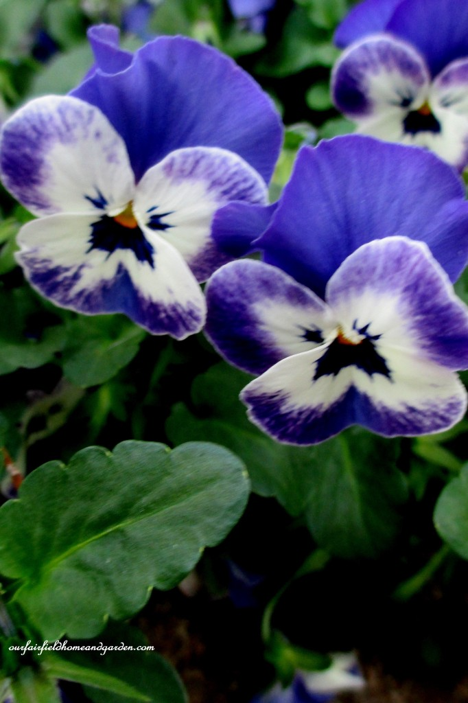 Pansies http://ourfairfieldhomeandgarden.com/a-visit-to-longwood-gardens-orchid-extravaganza-2015/