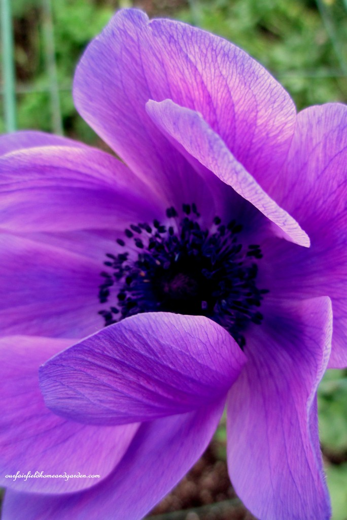 Anemone ~ Windflower https://ourfairfieldhomeandgarden.com/a-visit-to-longwood-gardens-orchid-extravaganza-2015/