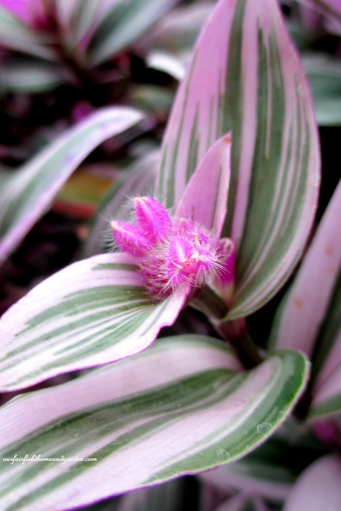 Variegated Tradescantia http://ourfairfieldhomeandgarden.com/a-visit-to-longwood-gardens-orchid-extravaganza-2015/