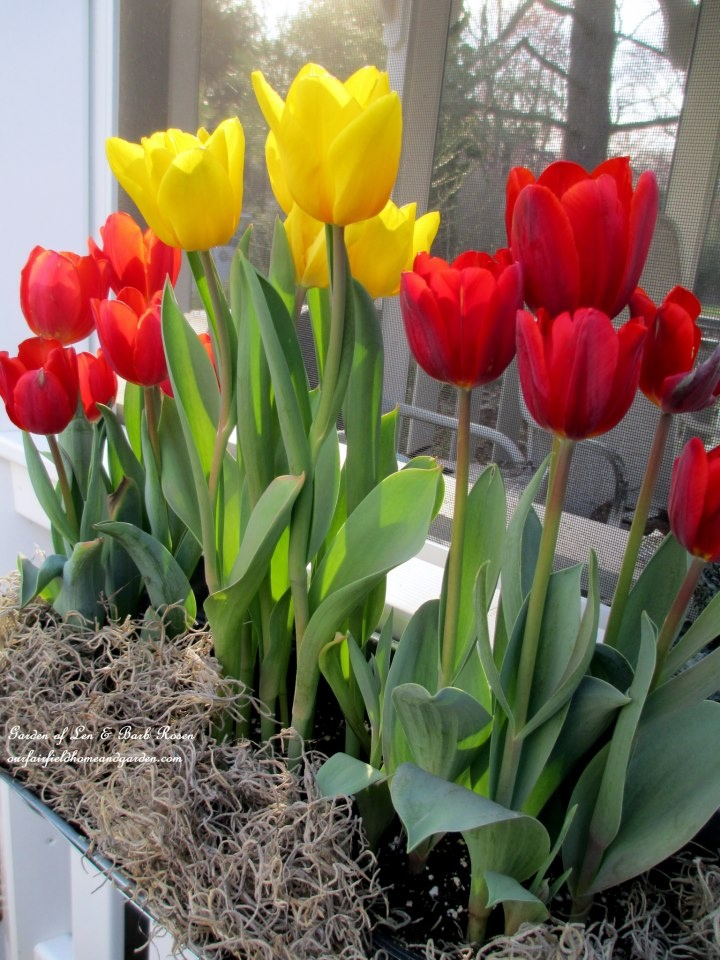 Tulips and More Tulips! https://ourfairfieldhomeandgarden.com/spring-windowboxes/