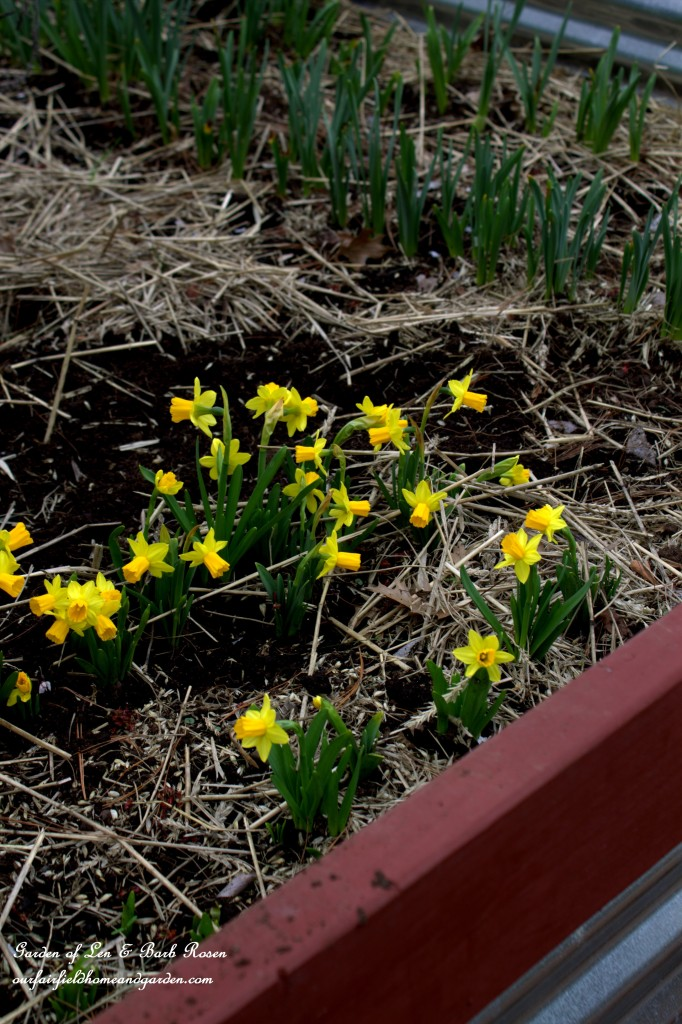 Bulbs coming up in the raised garden bed. https://ourfairfieldhomeandgarden.com/easy-gardening-tip-planting-sharing-bulbs/