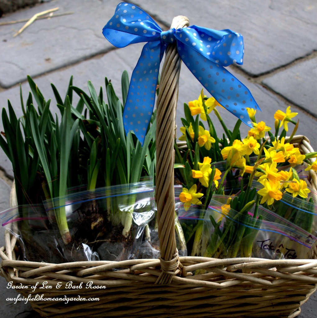 Narcissus Bulbs http://ourfairfieldhomeandgarden.com/easy-gardening-tip-planting-sharing-bulbs/