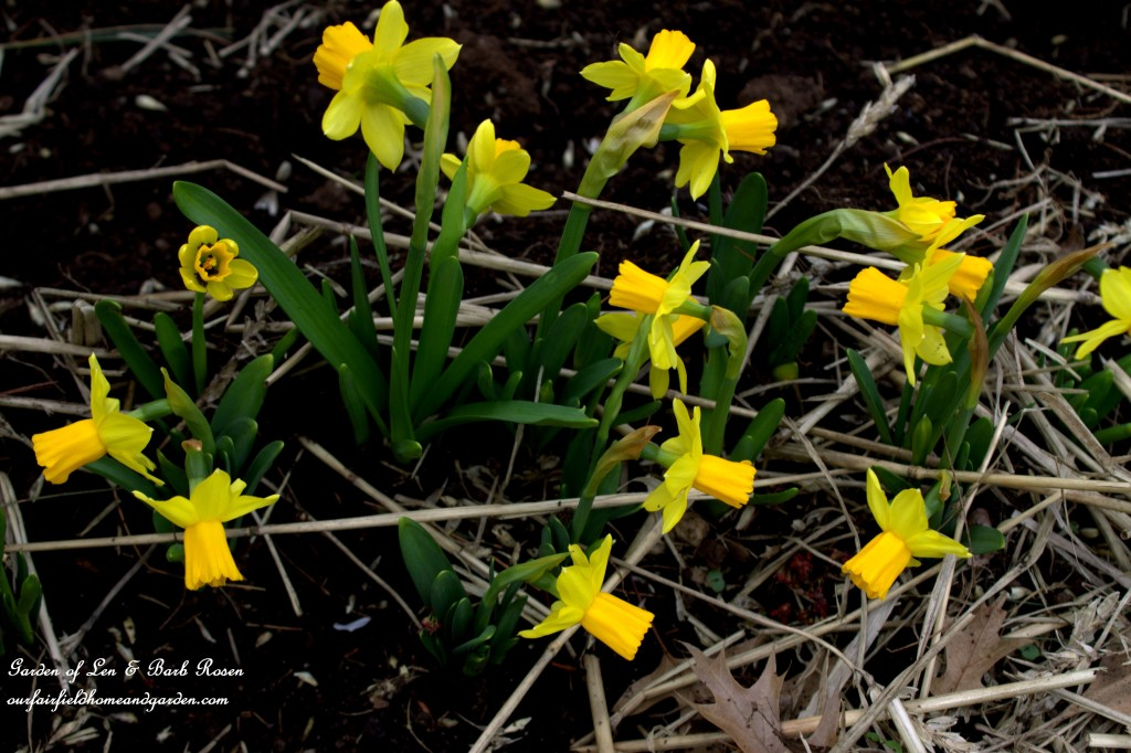 Tete-a-Tete Narcissus http://ourfairfieldhomeandgarden.com/easy-gardening-tip-planting-sharing-bulbs/