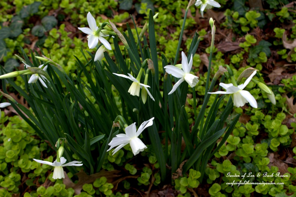 """Thalia"" Narcissus https://ourfairfieldhomeandgarden.com/easy-gardening-tip-planting-sharing-bulbs/"