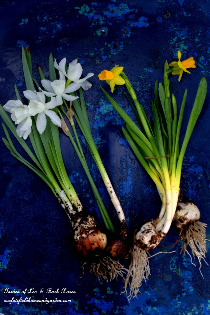 Thalia and Tete-a-Tete Narcissus http://ourfairfieldhomeandgarden.com/easy-gardening-tip-planting-sharing-bulbs/