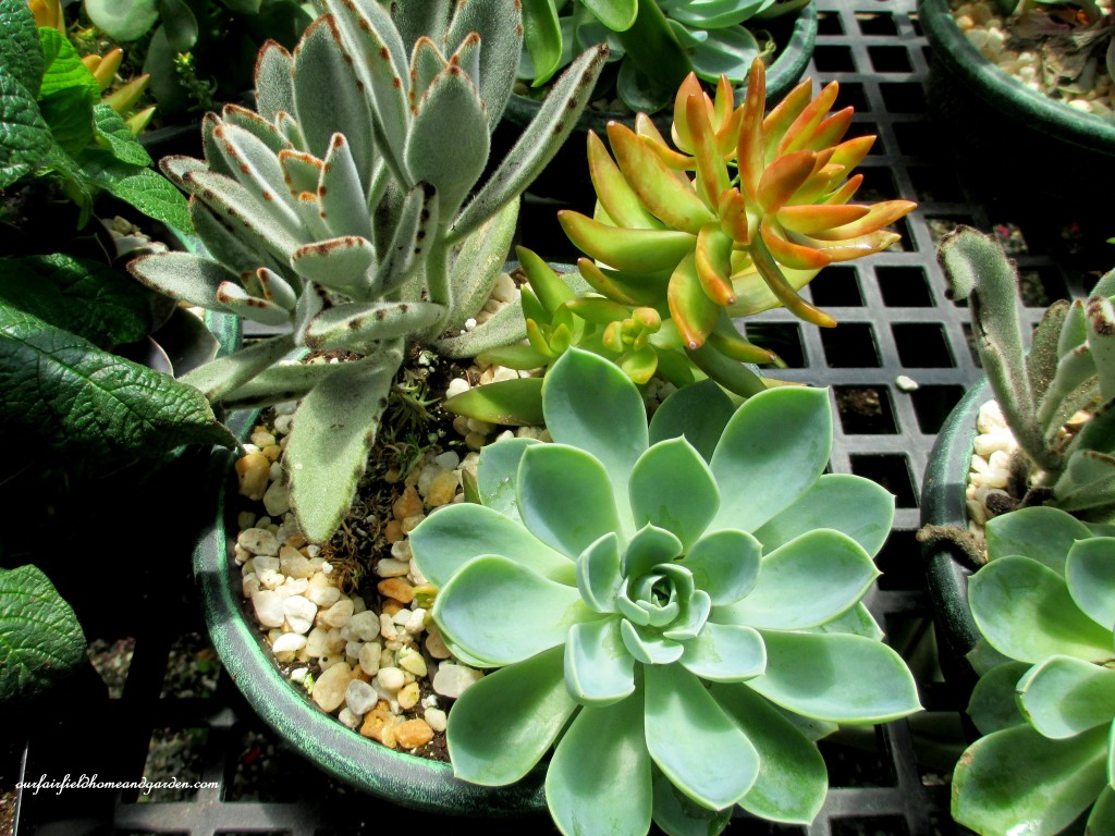 Succulent Bowl http://ourfairfieldhomeandgarden.com/road-trip-lancaster-county-greenhouses/