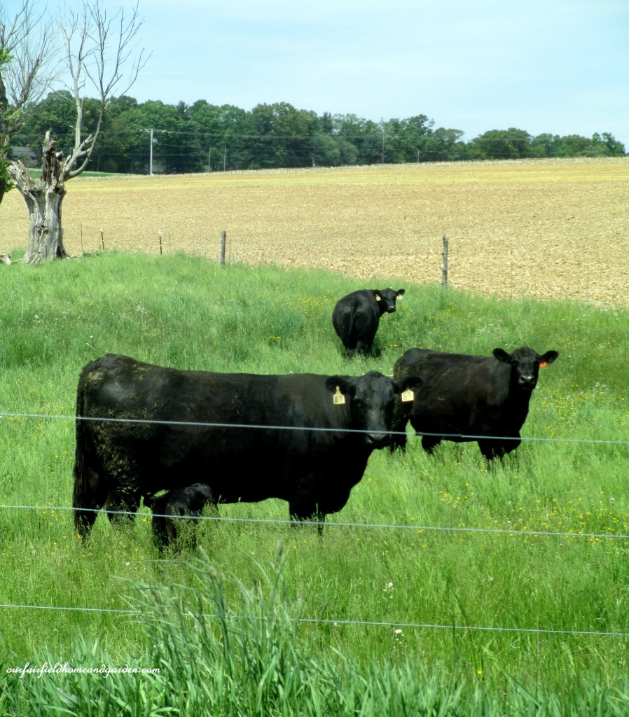 Cows in the field as we start our drive home! http://ourfairfieldhomeandgarden.com/road-trip-lancaster-county-greenhouses/