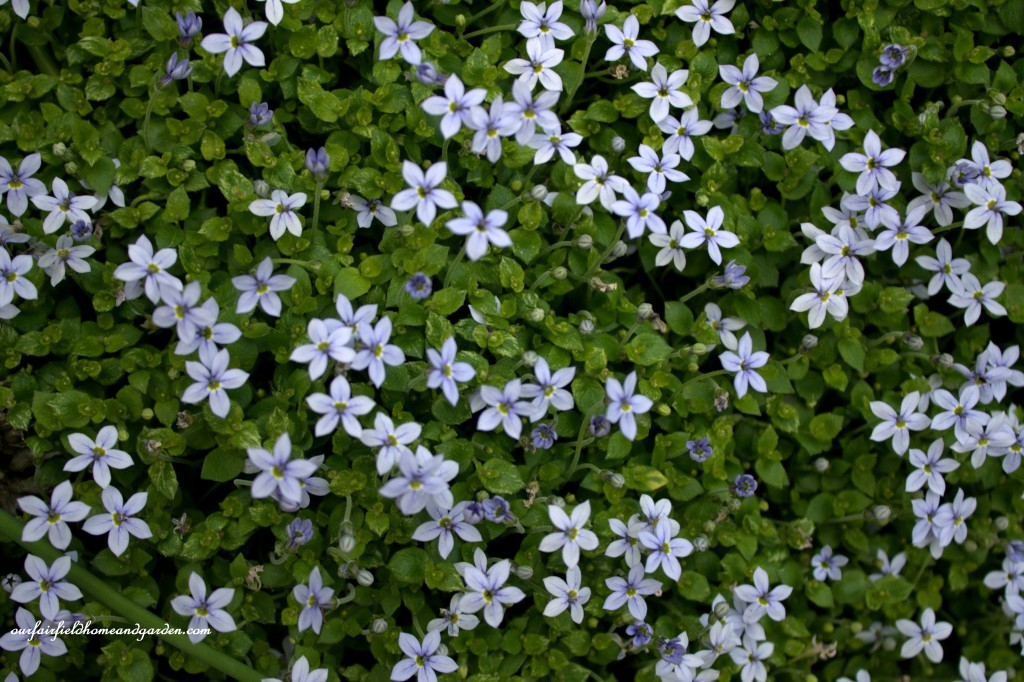 Blue Star Creeper ~ Cottage In the Roses http://ourfairfieldhomeandgarden.com/cottage-in-the-roses/
