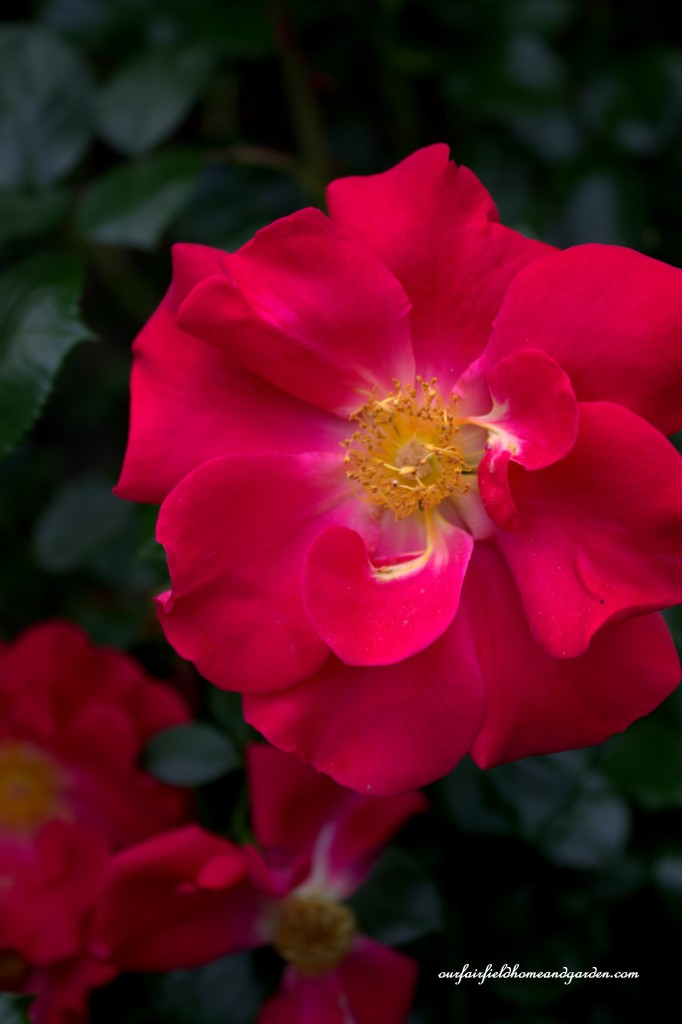Rose Bloom ~ Cottage In the Roses http://ourfairfieldhomeandgarden.com/cottage-in-the-roses/