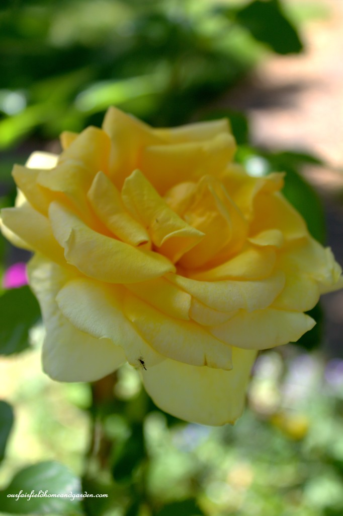 Yellow Rose ~ Cottage In The Roses https://ourfairfieldhomeandgarden.com/cottage-in-the-roses/
