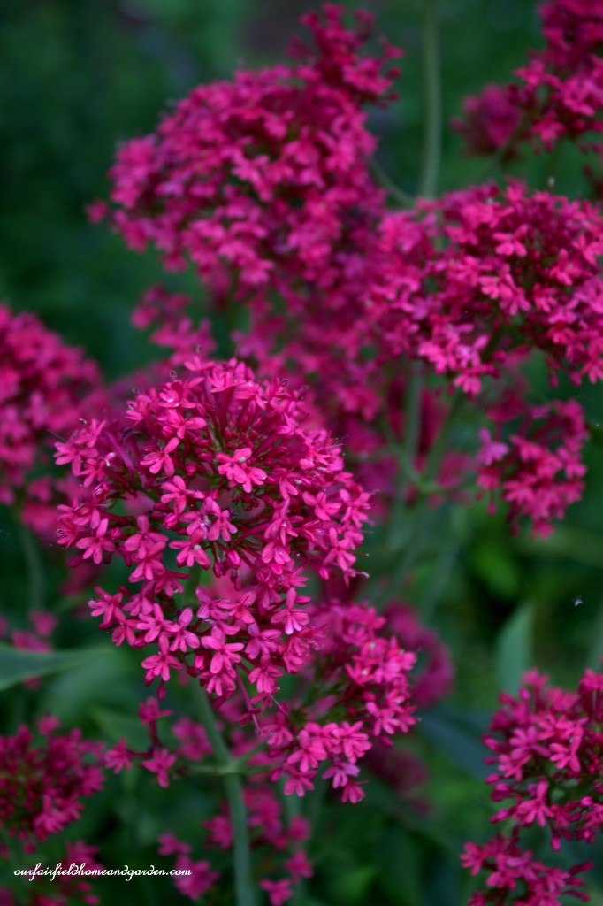 Valerian ~ Cottage In the Roses http://ourfairfieldhomeandgarden.com/cottage-in-the-roses/