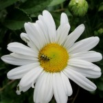 Beetles are pollinators too! https://ourfairfieldhomeandgarden.com/pollinator-picnic-attracting-pollinators-to-your-garden/