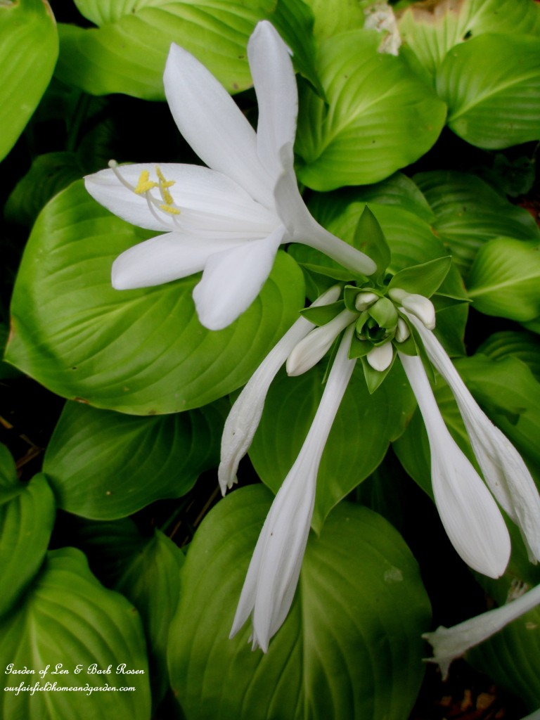 """August Lily"" Hosta https://ourfairfieldhomeandgarden.com/plants-to-consider/"