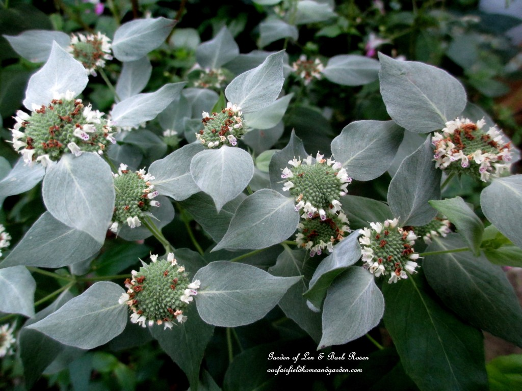 Mountain Mint http://ourfairfieldhomeandgarden.com/plants-to-consider/