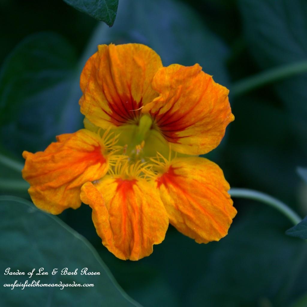 Nasturtium http://ourfairfieldhomeandgarden.com/plants-to-consider/