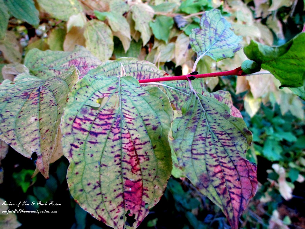 Red Twig Dogwood in Fall https://ourfairfieldhomeandgarden.com/plants-to-consider/