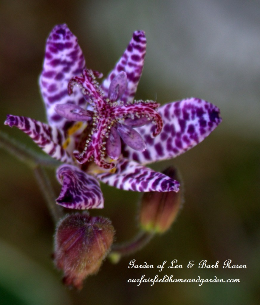 Toad Lily ~ Tricyrtis http://ourfairfieldhomeandgarden.com/plants-to-consider/