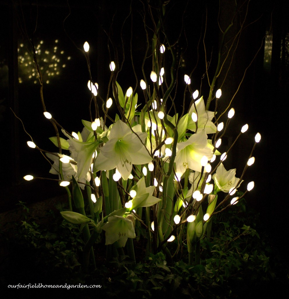 Amaryllis and Lights http://ourfairfieldhomeandgarden.com/a-longwood-christmas-evening-stroll/