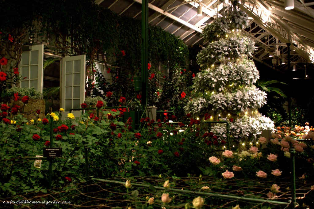 Christmas Roses http://ourfairfieldhomeandgarden.com/a-longwood-christmas-evening-stroll/