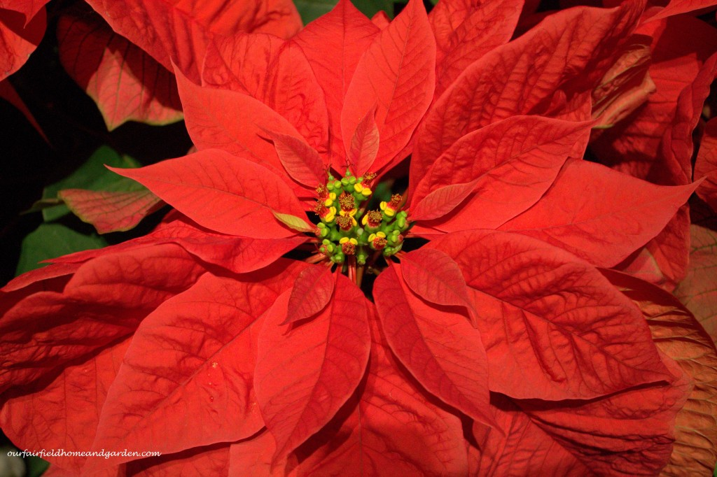 Red Poinsetttia http://ourfairfieldhomeandgarden.com/a-longwood-christmas-evening-stroll/