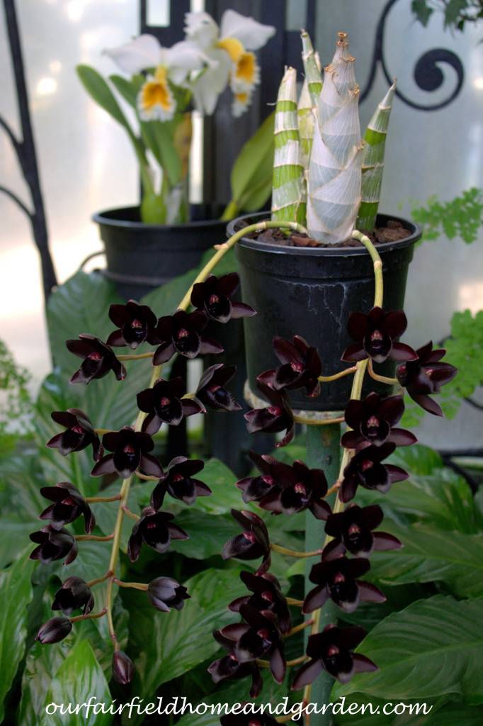 Black Orchid ~ Orchid x Fredclarkeara, After Dark 'SVO Black Pearl' https://ourfairfieldhomeandgarden.com/black-orchids-field-trip-to-longwood-gardens/
